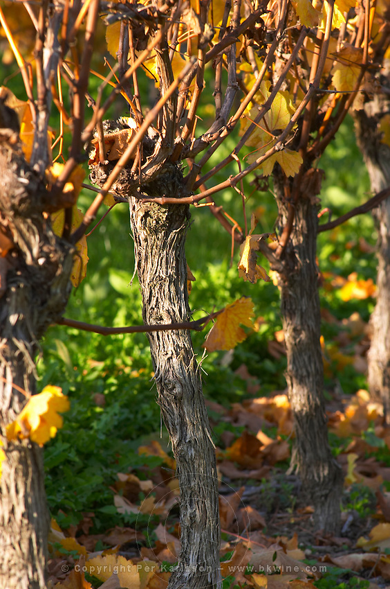 Autumn colours in the vineyard in late afternoon evening sunshine, red, brown, yellow leaves, detail of the vines Domaine Vignoble des Verdots Conne de Labarde Bergerac Dordogne France