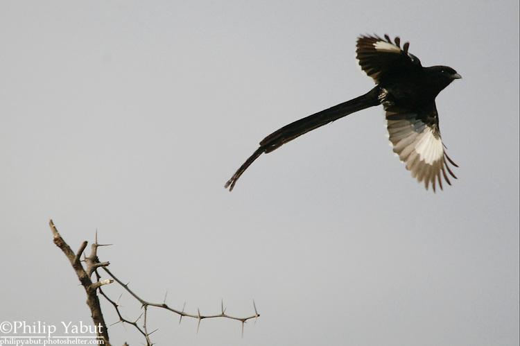 Long-tailed (magpie) shrike (Corvinella melanoleuca), Hwange National Park, Zimbabwe