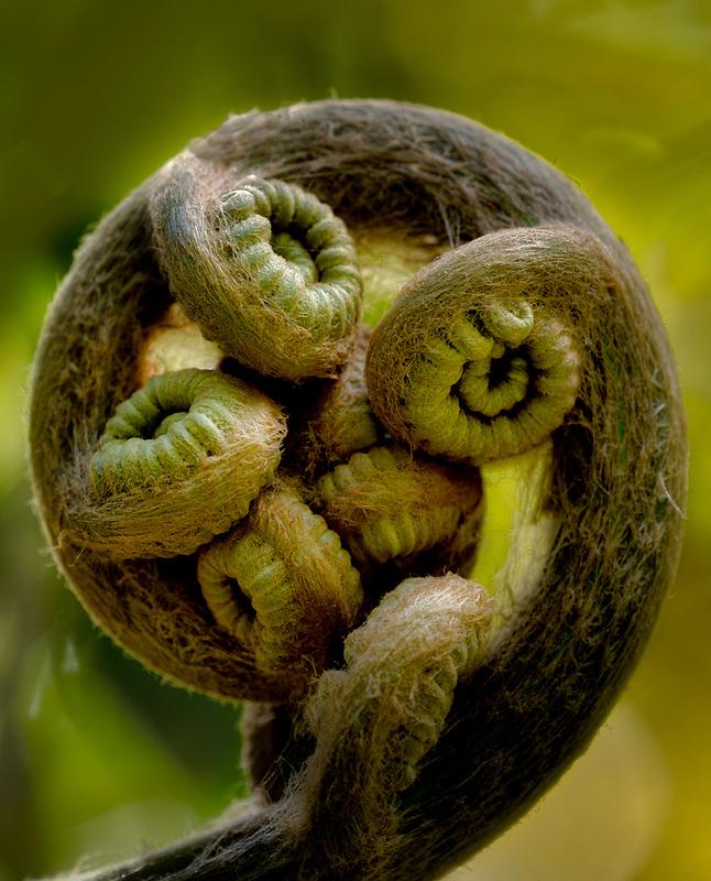 Fern (Microsorum spectrum) Polypodiaceae. Limahuli Gardens, Kauai, Hawaii