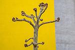 Pollarded plane tree (Platanus sp.), Wetzlar, Germany<br /> <br /> Canon EOS 5D Mark III, EF24-105mm f/4L IS USM lens, f/14 for 1/50 second, ISO 320