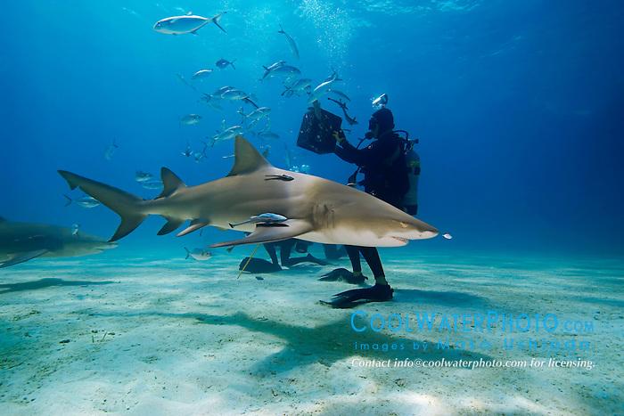 Lemon Sharks, Negaprion brevirostris, and scuba divers, West End, Grand Bahama, Atlantic Ocean