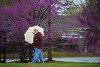 Keith Wright of Springdale walks in the light rain Wednesday, April 7, 2021, past a row of eastern redbud trees at Lake Fayetteville. Rain gave way to clear skies by late afternoon with rain expected again on Friday, according to the National Weather Service. Visit nwaonline.com/210408Daily/ for today's photo gallery. <br /> (NWA Democrat-Gazette/Andy Shupe)