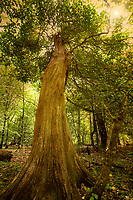Partially dead Beech tree. Along River Teign. Devon, England. Sun added