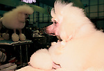 'CRUFTS', STANDARD POODLE IN THE GROOMING AREA., 1991