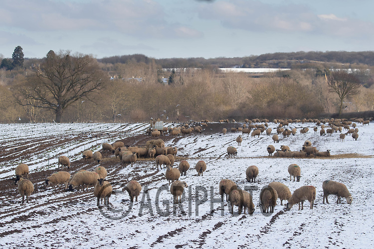 11-2-2021 In lamb ewes on snow coved fodder rape <br /> ©Tim Scrivener Photographer 07850 303986<br />      ....Covering Agriculture In The UK....
