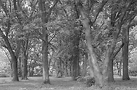 """""""Oak Grove"""" <br /> Pillsbury Crossing, Kansas<br /> <br /> Pillsbury Crossing is located in the Flint Hills of northeastern Kansas six miles from Manhattan. A thick limestone ledge which spans Deep Creek provided a sturdy bottom for the wagons of early pioneers to safely ford the water. This black and white photograph shows a beautiful grove of oak trees next to the creek that provides shade for modern day visitors to the area."""