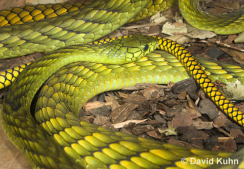 0423-1114  Western Green Mamba (West African Green Mamba), Dendroaspis viridis  © David Kuhn/Dwight Kuhn Photography