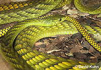 0423-1114  Western Green Mamba (West African Green Mamba), Dendroaspis viridis  © David Kuhn/Dwight Kuhn Photography