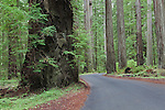 Fork in the Road, or The Road Less Traveled, You Take the High Road, trails diverge into the Redwoods in Humboldt Redwoods State Park along the Avenue of the Giants.  California, USA.  Represented exclusively at www.spacesimages.com