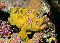 Smooth Anglerfish, Phyllophyrne scortea, Bright yellow colour variationEdithburgh, South Australia, Australia, Southern Ocean