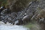 Common Wildebeests, Mara River, Kenya