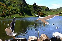 Edinburgh, Seagulls and swans at Blackford Point<br /> Scotland May 8th - 19th. Trip across Scotland<br /> Foto Samantha Zucchi Insidefoto