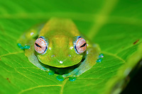 Mantellid frog (Boophis elenae) on green leaf, rainforest, Ranomafana National Park, Central Highlands, Madagascar, Africa