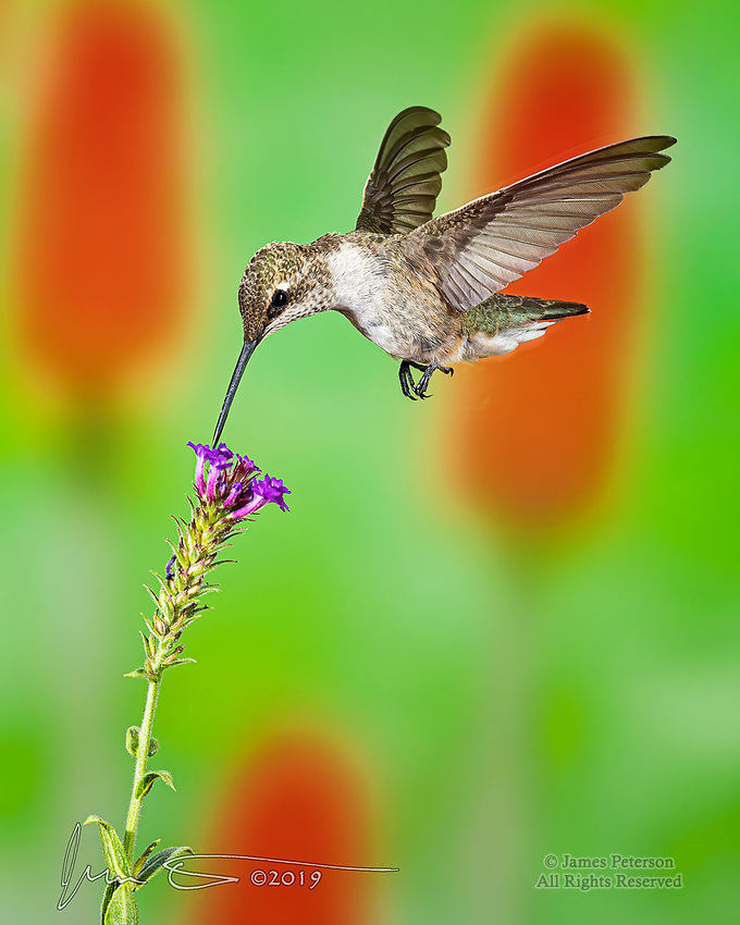 """A Sip for Breakfast.  Many species of hummingbirds migrate to central Arizona to spend the summer, and they're happy to grab a """"bite"""" on the fly wherever they can.  This one was enjoying its morning meal in Sedona.<br /> <br /> Image ©2019 James D Peterson"""