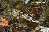 TP18-537z  Grubby Sculpin Fish camouflaged in Tidepool, Myoxocephalus aenaeus