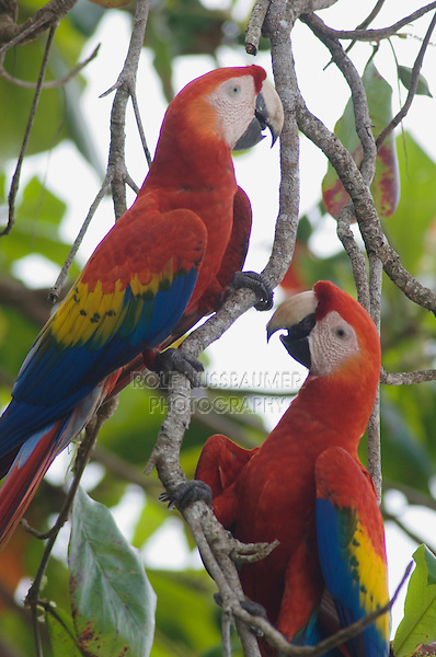 Scarlet Macaw, Ara macao, pair in Almond tree, Tarcol, Central Pacific Coast, Costa Rica, Central America