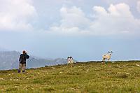 Hiker photographs Dall sheep on a mountain ridge in Denali National Park, Interior, Alaska.