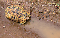 Most of the time, leopard tortoise sightings signal an actual leopard nearby for me. Not on this trip.