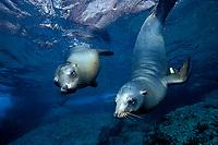 couple of California sea lion, Zalophus californianus, Los Islotes, Sea of Cortez Baja California, Mexico, East Pacific Ocean