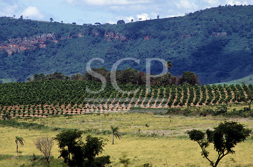 Sao Paulo State, Brazil. Orange groves.