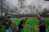 Jacksonville, Florida<br /> November 4, 2013<br /> <br /> Veteran's sustainable farm founded by Purple Heart veteran Adam Burke and managed by Afghan and Iraqi veteran Steve Ellseberry.<br /> <br /> Marine Trey Evans( blue shirt), Marine (infantry) Shaun Vladivia (green shirt left), Adam Burk center and volunteer Gaines Matheny, (far off) pick peppers.