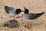 Swallow-tailed gull, Galapagos Islands, Ecuador