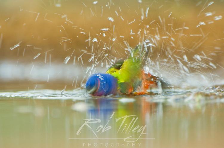 Texas, Rio Grande Valley, Santa Clara Ranch, Painted Bunting (Male) Bathing