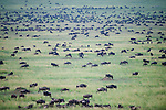 Massing herds of White-bearded Wildebeest (Connochaetes taurinus albojubatus) on migration. Ndutu area, Ngorongoro Conservation Area / Serengeti National Park, Tanzania.