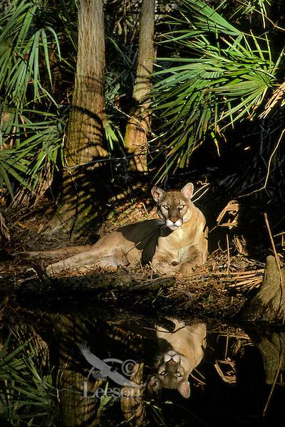 MR1099  Florida Panther (Felis concolor coryi) in South Central Florida.