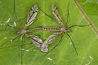 Schnake, Kopula, Paarung, Kopulation, Tipula spec., crane fly, crane-fly, Schnaken, Tipulidae, crane flies, crane-flies, daddy-long-legs
