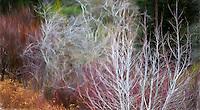 Interpretation - Alnus tenuifolia - Mountain Alder; California native deciduous small tree, bare branches in winter in shrub border with Cornus