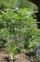 Hardy orchid Bletilla striata growing in garden setting with Dicentra spectabilis alba aka Lamprocapnos spectabilis 'Alba', Nepeta