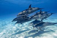 mixed dolphin pod, Atlantic spotted dolphin, Stenella frontalis, and common bottlenose dolphin, Tursiops truncatus, Bahamas, Atlantic Ocean