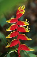 France/DOM/Martinique/Les Trois-Ilets/Parc Floralies: Détail balisier ou heliconia rostré ou heliconia - Nom scientifique: heliconia rostrata