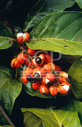 Belem, Brazil. Paullinia cupana - Guarana, natural stimulant used as tonic & flavour a popular Brazilian soft drink. Para State.