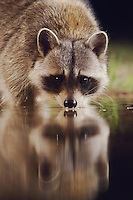 Northern Raccoon, Procyon lotor, adult drinking, Uvalde County, Hill Country, Texas, USA