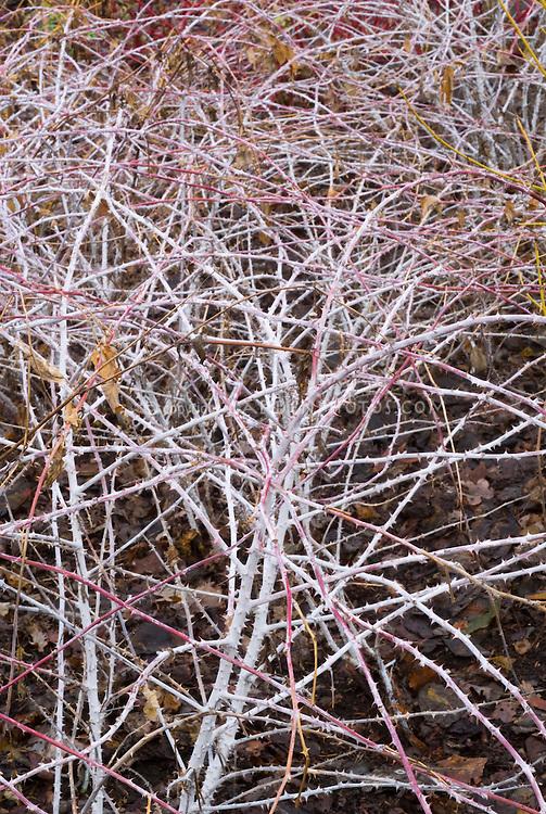 Rubus cockburnianus Goldenvale in white winter stems