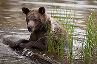 Grizzly Bear in a pond leaning on a floating log - CA