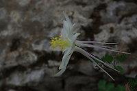 Colorado Blue Columbine (Aquilegia coerulea) flower seen in southern Utah's, Dixie National Forest on a summer day.