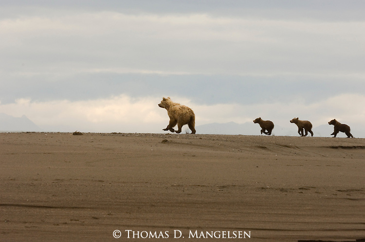 Brown bear with 3 cubs running on beach of the western shore of Cook Inlet in Lake Clark National Park, Alaska.