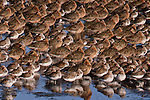 Short-billed dowitchers and dunlins, Grays Harbor, Washington