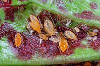 Johannisbeerblasenlaus, Johannisbeer-Blasenlaus, Cryptomyzus ribis, Cryptomyzus korschelti, Woundwort aphid