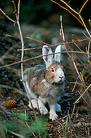 Snowshoe hare or varying hare (Lepus americanus) changing from winter white to summer brown-gray.  Spring.