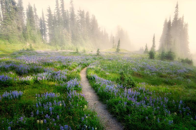 Trail through wildflowers with fog. Mt. Rainier National P:ark, Washington