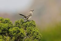 Northern Mockingbird (Mimus polyglottos), adult perched on juniper, Chisos Basin, Chisos Mountains, Big Bend National Park, Chihuahuan Desert, West Texas, USA
