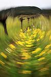 A mustard field in Napa Valley California.