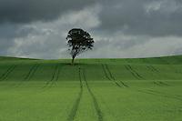 Lone Tree near West Kilbride, Ayrshire<br /> <br /> Copyright www.scottishhorizons.co.uk/Keith Fergus 2011 All Rights Reserved