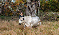 BNPS.co.uk (01202 558833)<br /> Pic: PhilYeomans/BNPS<br />  <br /> A Blenheim Estate Rural Assistant, Sally Tustian with the white bull<br /> <br /> A herd of British white cattle is being returned to help manage ancient woodland on the Blenheim Estate.<br /> <br /> Some 45 cattle, including 21 cows, 23 calves and Sebastian the bull, have been released into High Park, a wooded area of the Oxfordshire estate that was originally created by King Henry I as a deer park in the 12th century. <br /> <br /> It is the first time the woods have been grazed by livestock for more than a century and it is hoped their re-introduction will encourage new tree growth.