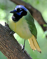 Adult green jay on tree trunk