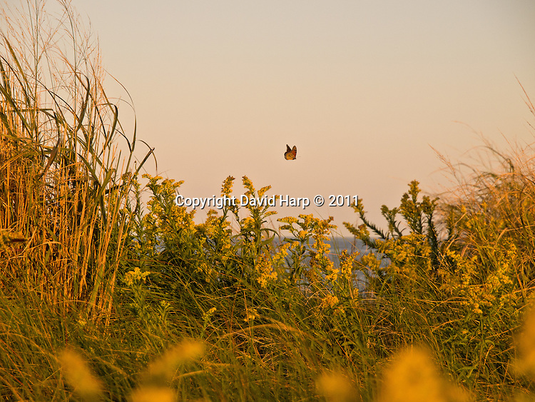 A monarch butterfly lifts off from a patch of seaside goldenrod on Goose Island, VA, during its fall migration to Mexico.